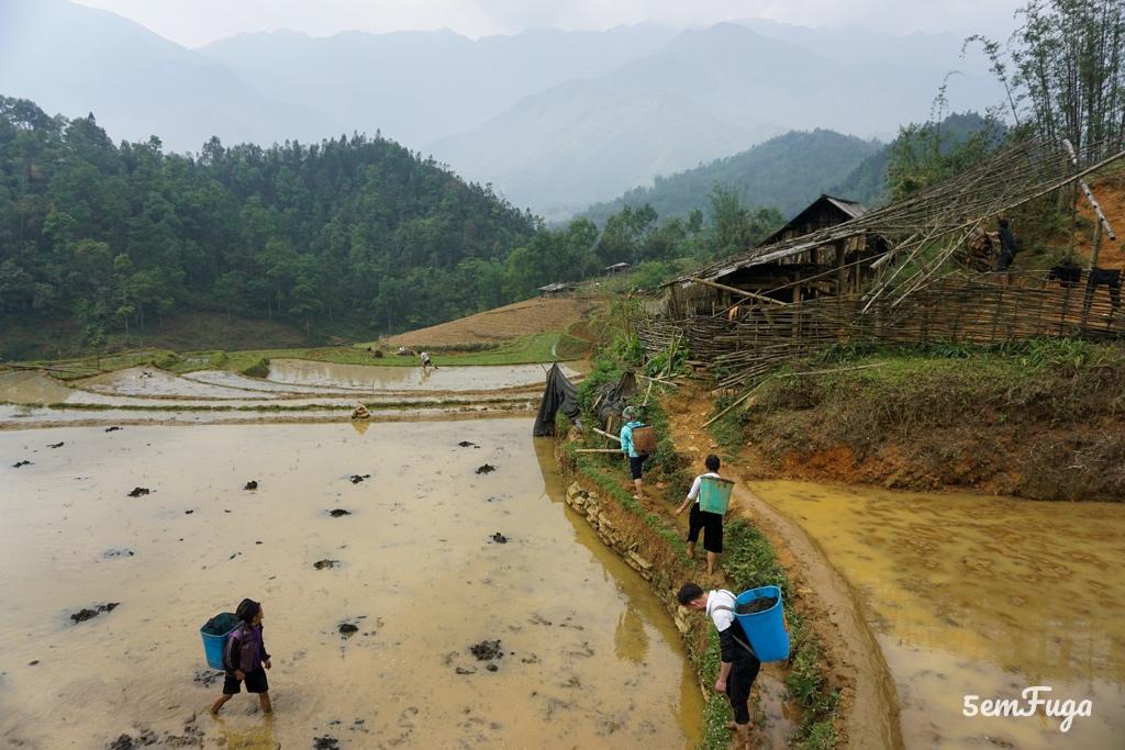 plantação de arroz em sapa