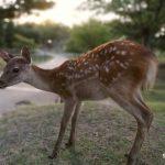 veado pelos jardins de Nara