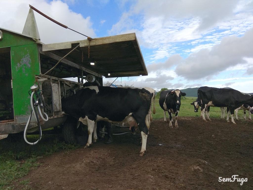 ordenha das vacas que são parte da paisagem dos açores