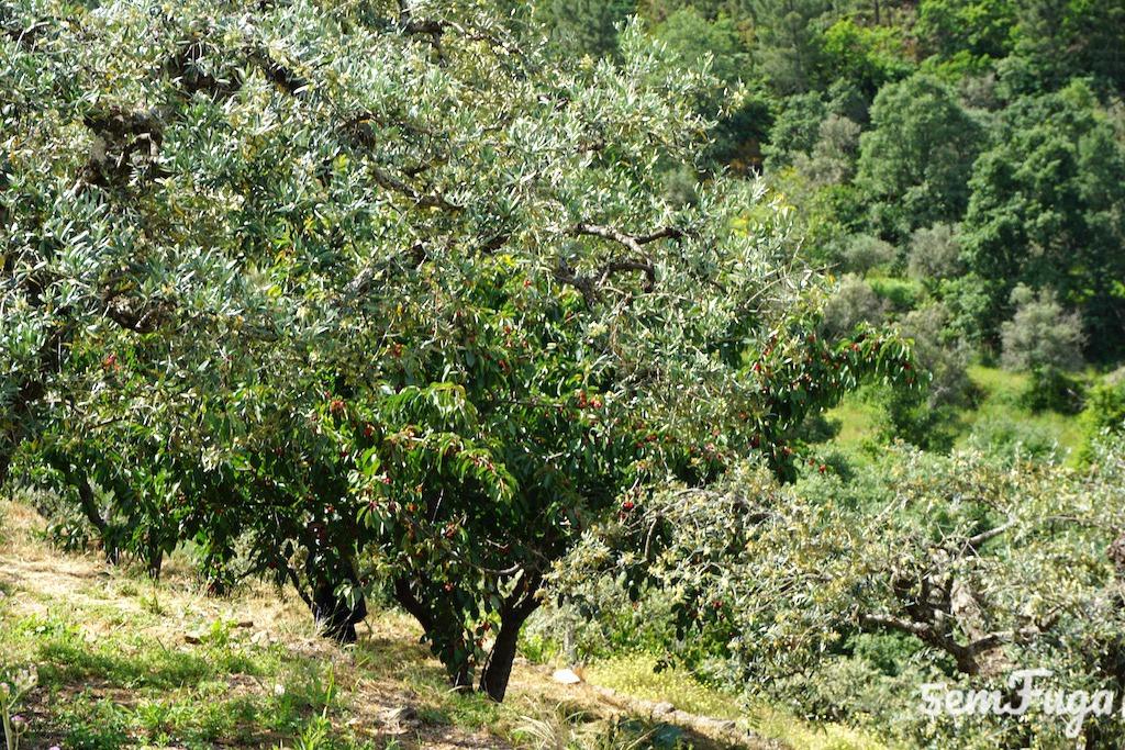 cerejeira com fruto